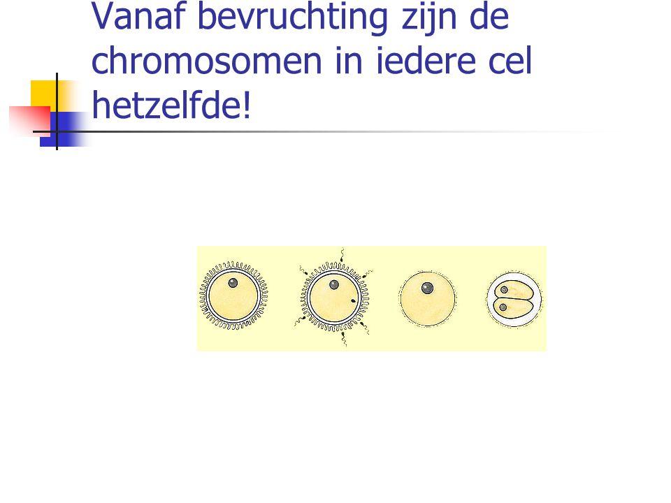 Vanaf bevruchting zijn de chromosomen in iedere cel hetzelfde!