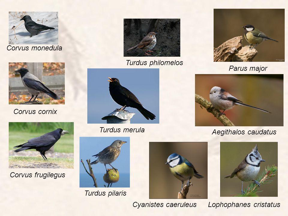 Corvus monedula Turdus philomelos. Parus major. Corvus cornix. Turdus merula. Aegithalos caudatus.