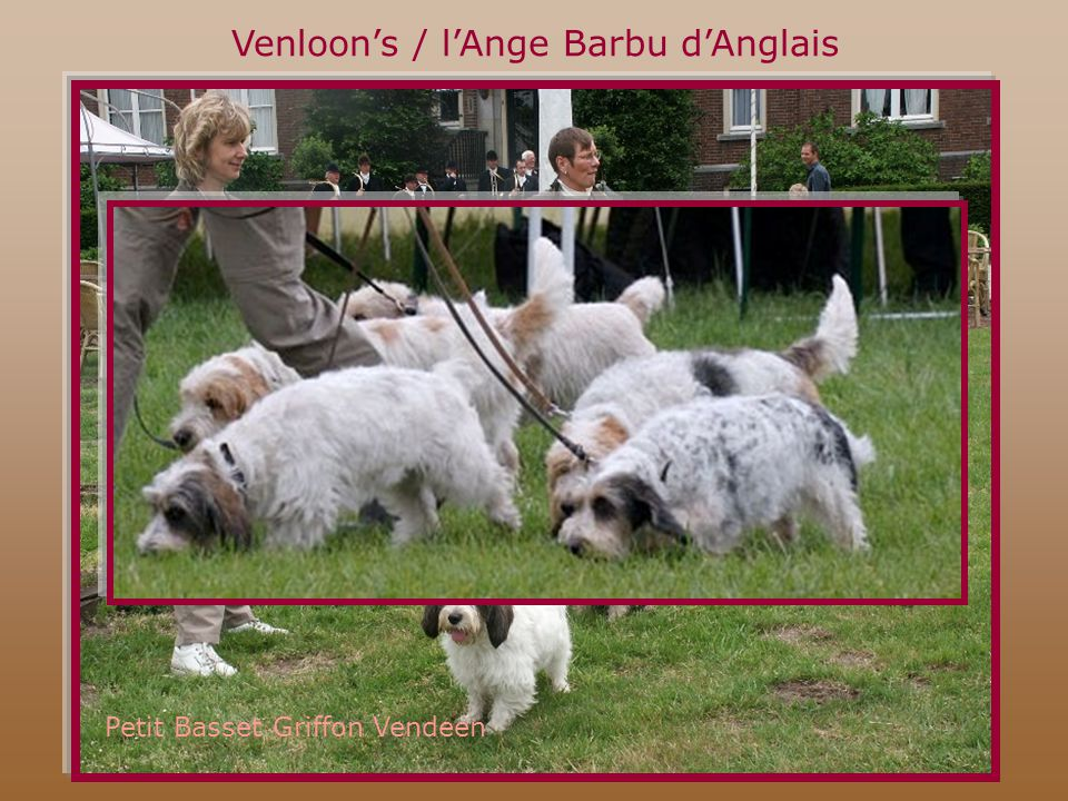 Venloon's / l'Ange Barbu d'Anglais