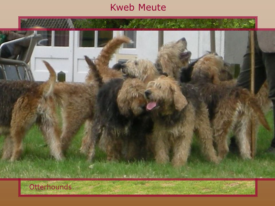 Kweb Meute Otterhounds