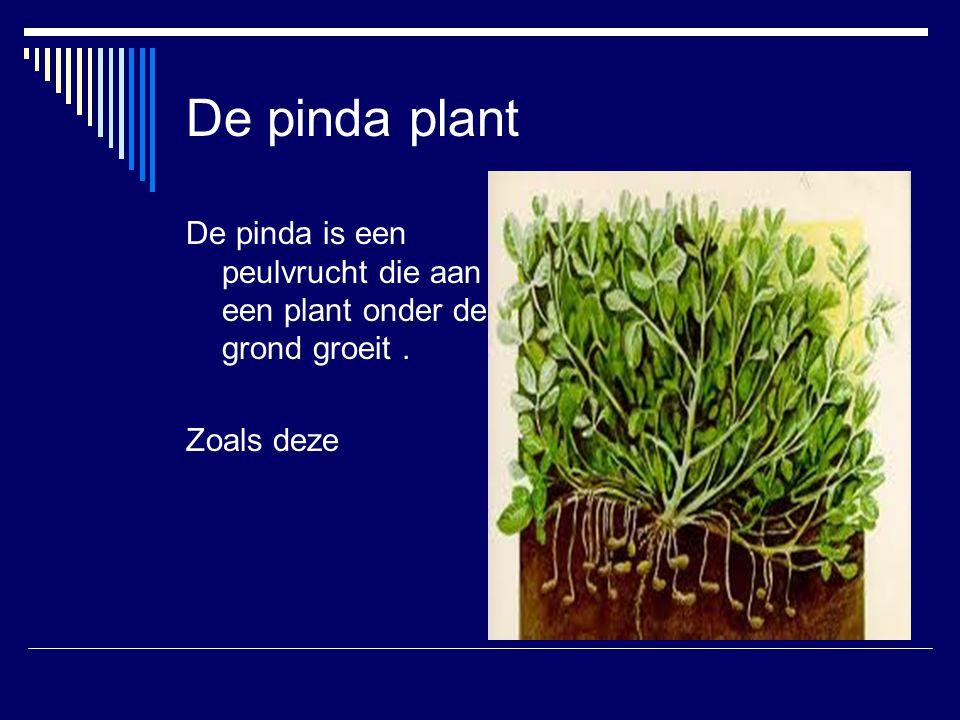 De pinda plant De pinda is een peulvrucht die aan een plant onder de grond groeit . Zoals deze