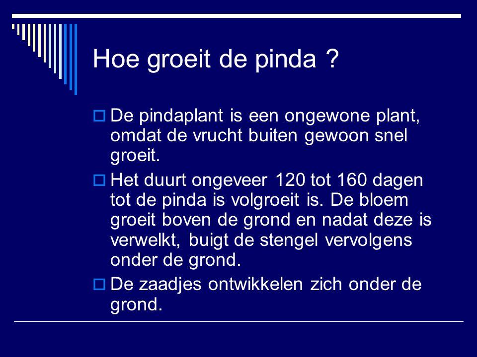 Hoe groeit de pinda De pindaplant is een ongewone plant, omdat de vrucht buiten gewoon snel groeit.