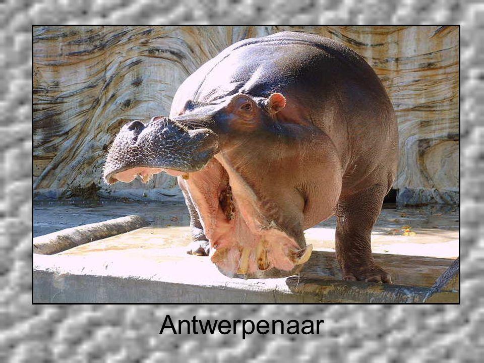 Antwerpenaar