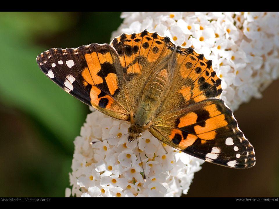 Distelvlinder – Vanessa Cardui