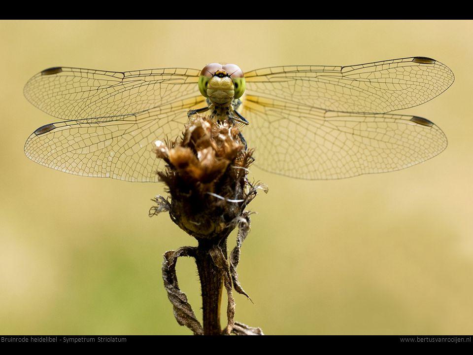 Bruinrode heidelibel - Sympetrum Striolatum