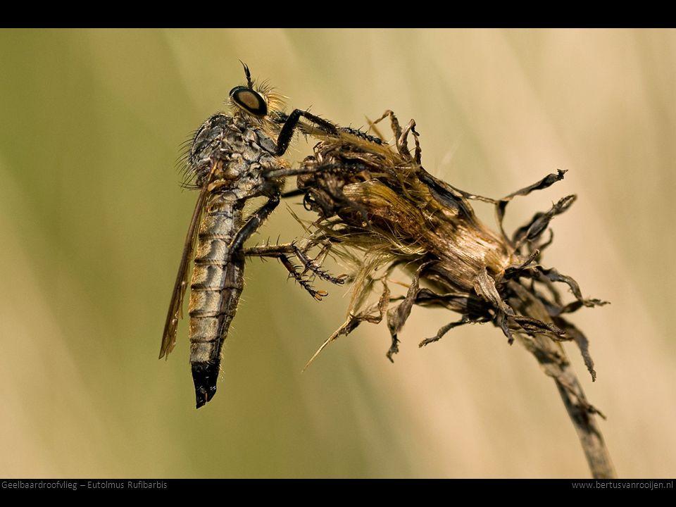 Geelbaardroofvlieg – Eutolmus Rufibarbis
