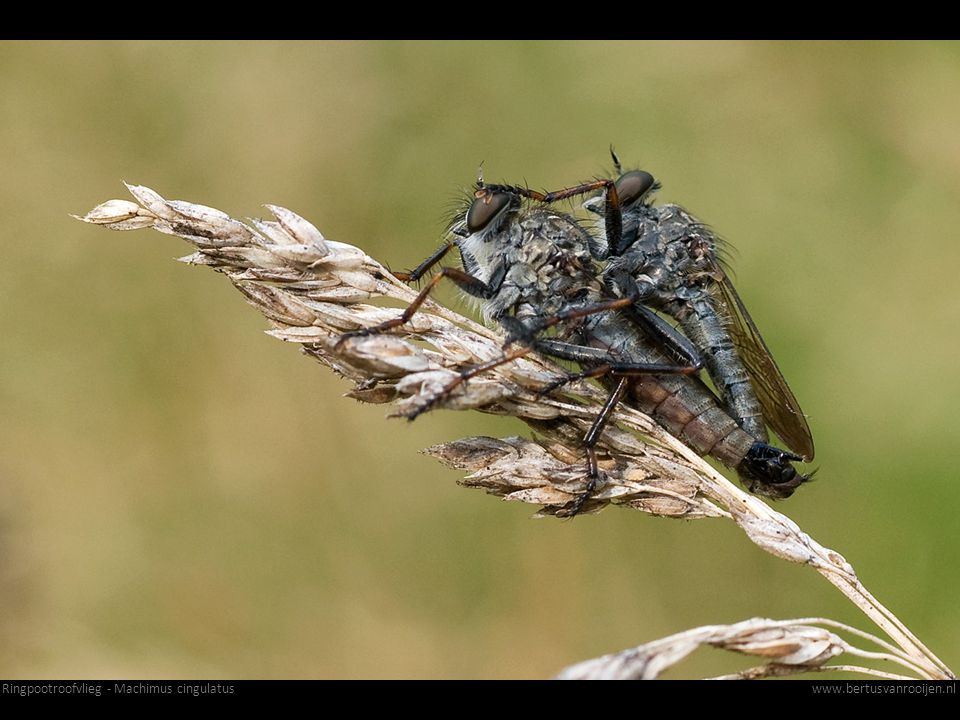 Ringpootroofvlieg - Machimus cingulatus