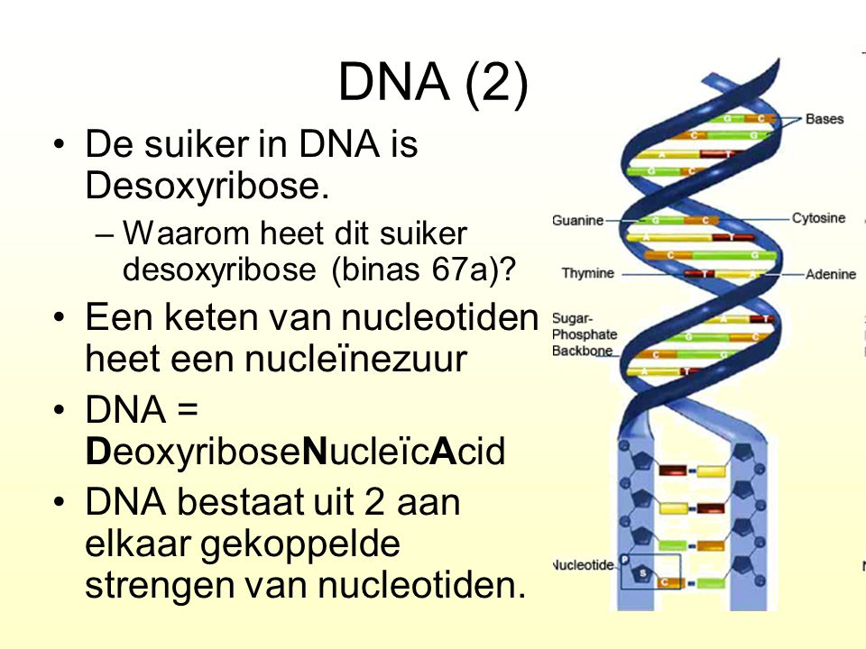 DNA (2) De suiker in DNA is Desoxyribose.