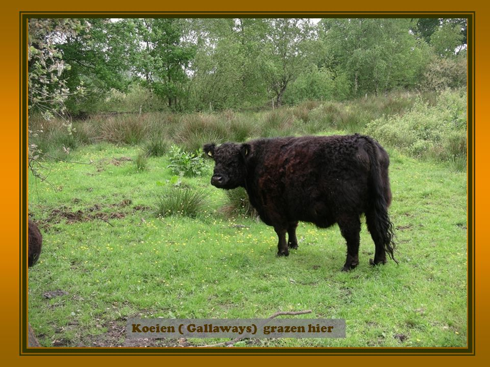 Koeien ( Gallaways) grazen hier