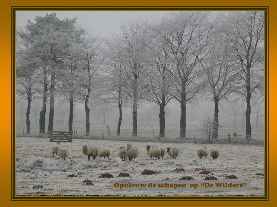 Opnieuw de schapen op De Wildert De winter staat voor de deur