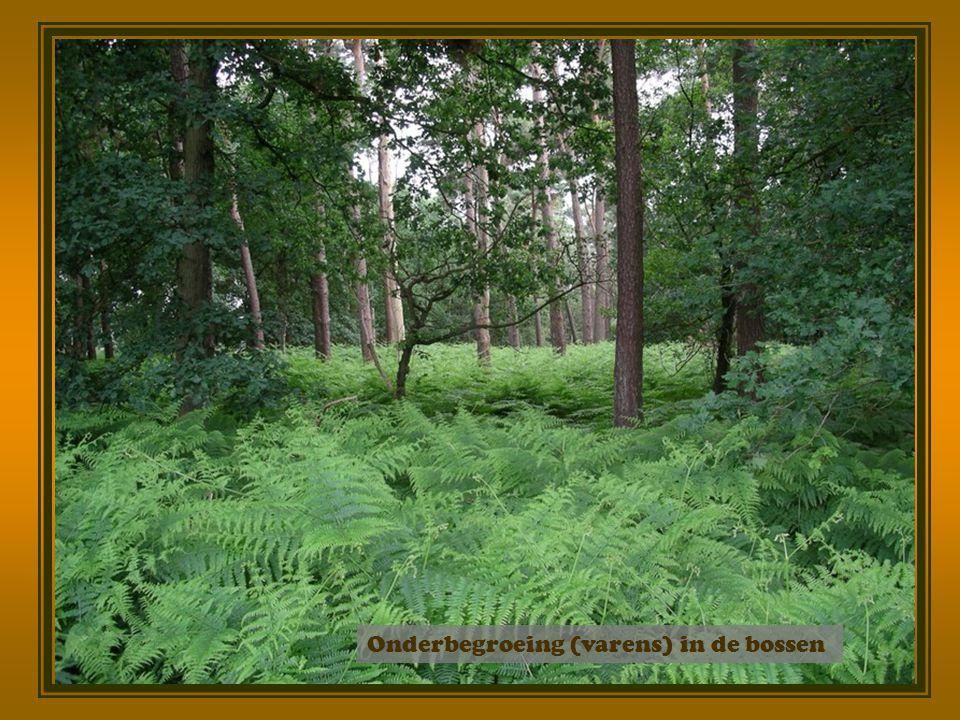 Onderbegroeing (varens) in de bossen
