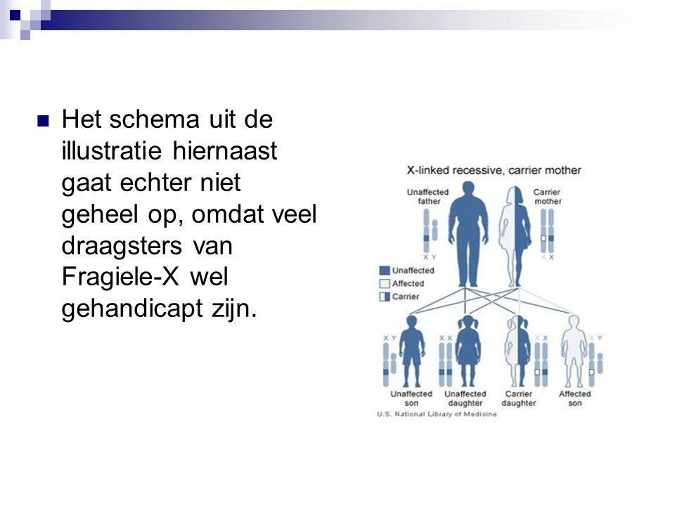 Het schema uit de illustratie hiernaast gaat echter niet geheel op, omdat veel draagsters van Fragiele-X wel gehandicapt zijn.