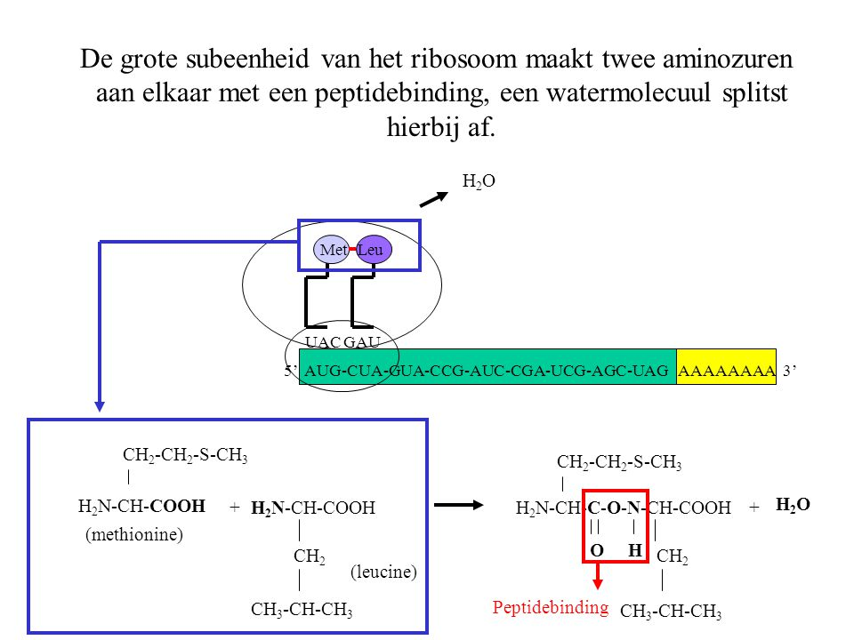 De grote subeenheid van het ribosoom maakt twee aminozuren