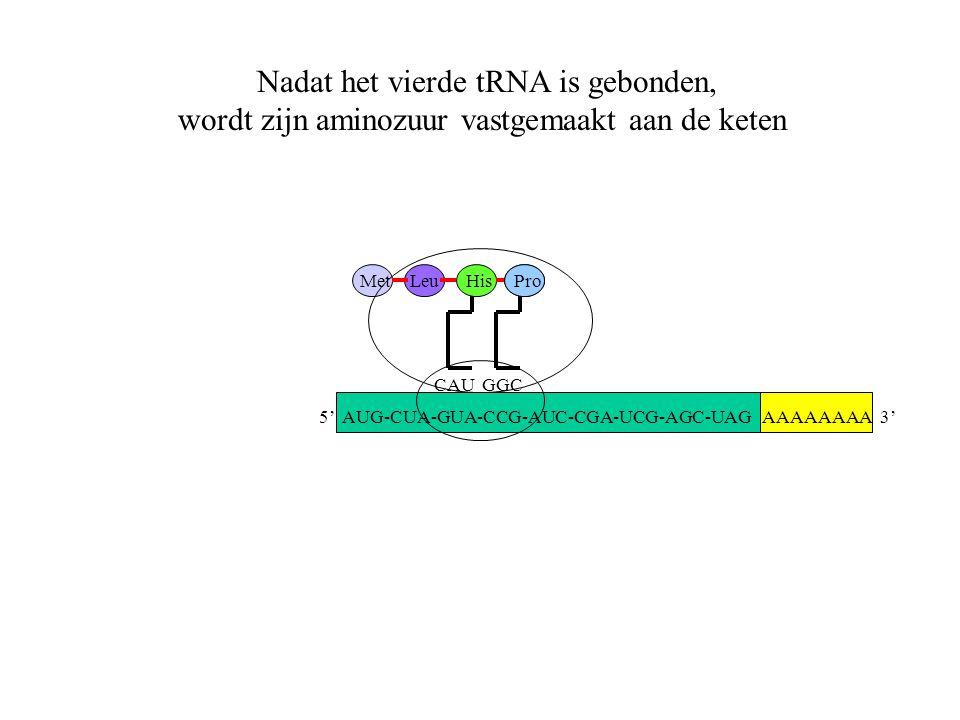 Nadat het vierde tRNA is gebonden,