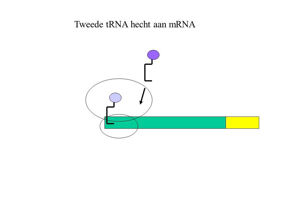 Tweede tRNA hecht aan mRNA