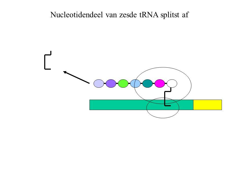 Nucleotidendeel van zesde tRNA splitst af
