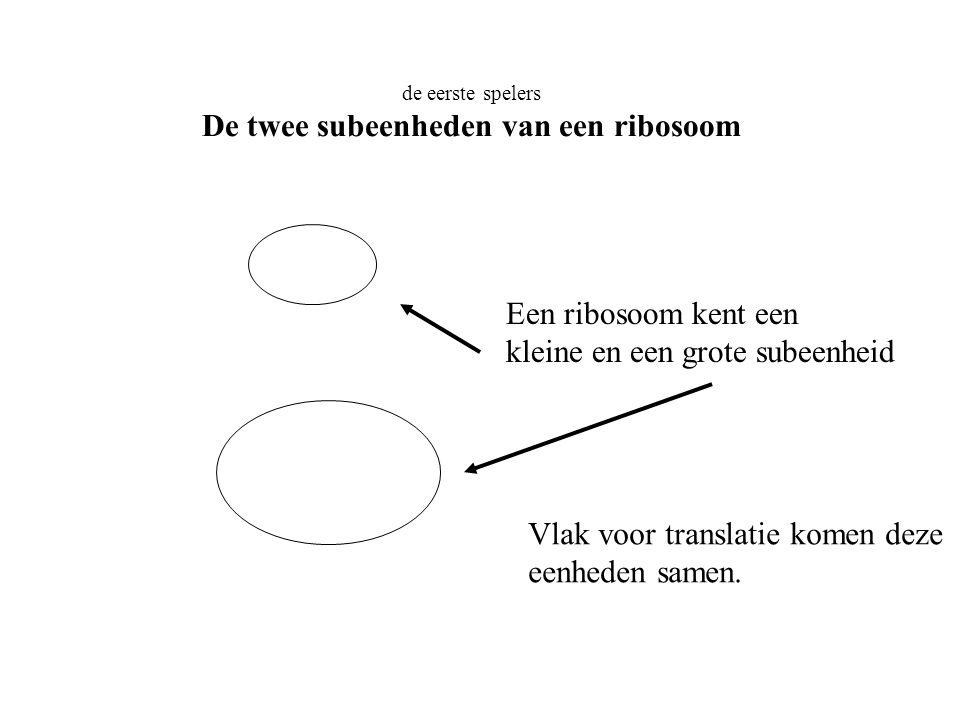 De twee subeenheden van een ribosoom