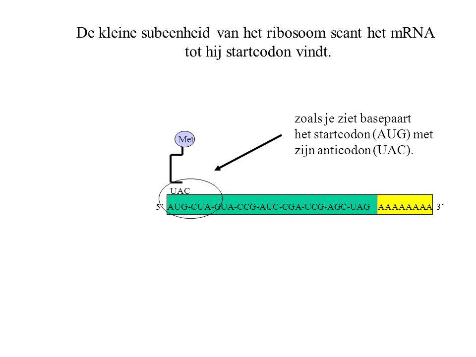 De kleine subeenheid van het ribosoom scant het mRNA