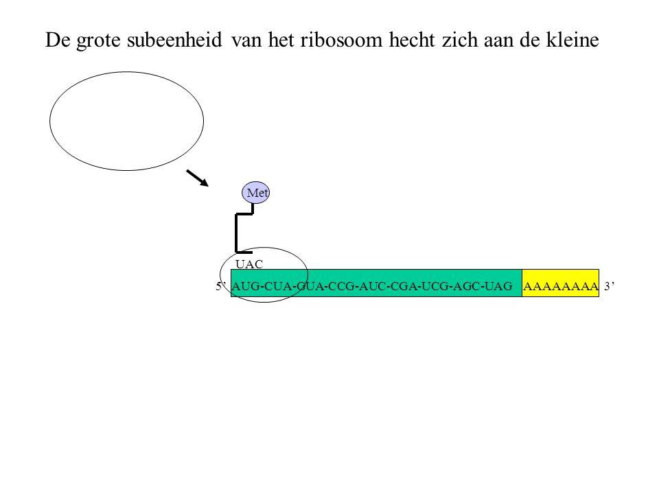 De grote subeenheid van het ribosoom hecht zich aan de kleine