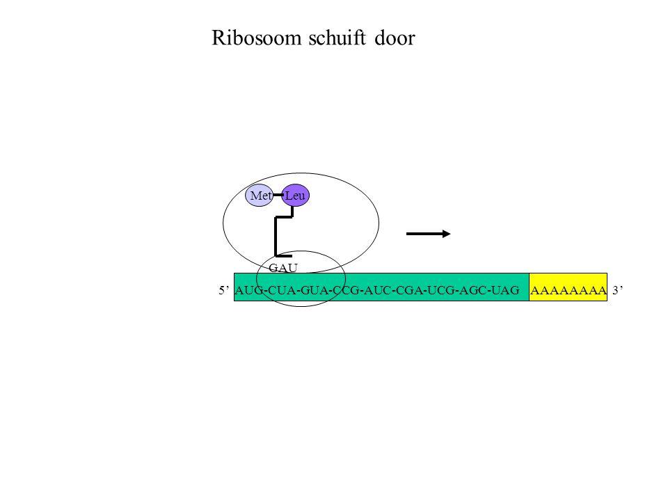 Ribosoom schuift door Met Leu GAU