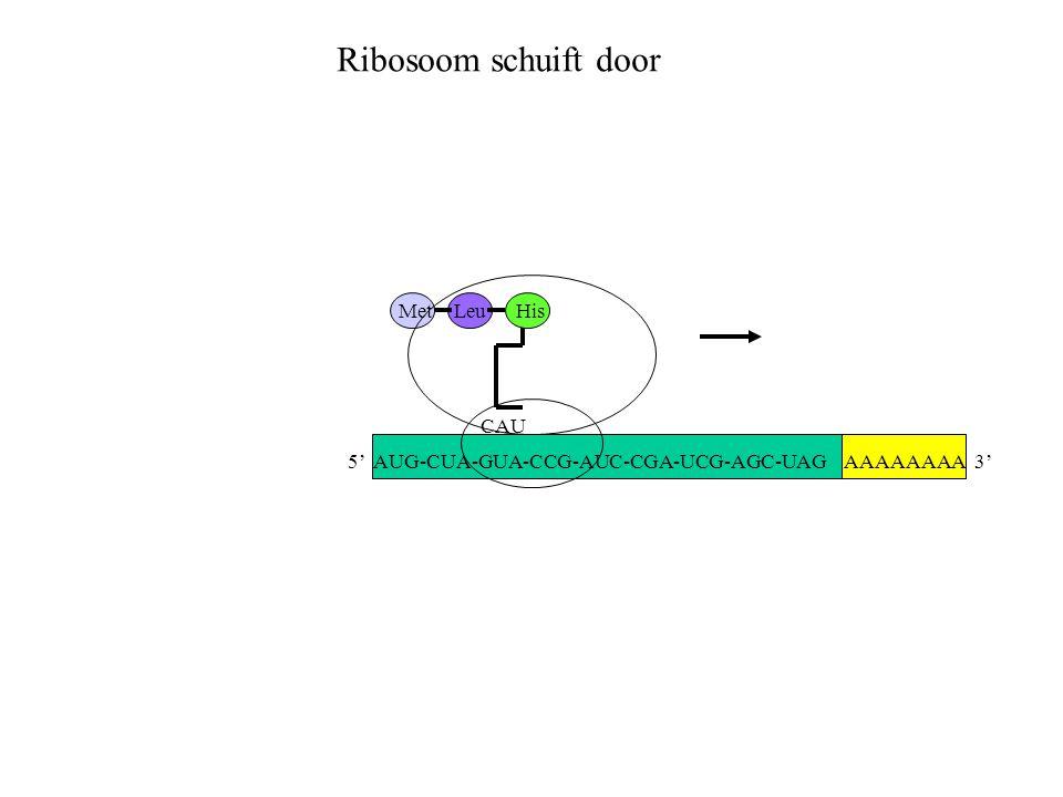 Ribosoom schuift door Met Leu His CAU