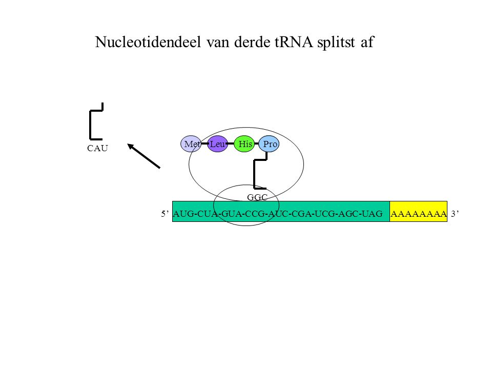 Nucleotidendeel van derde tRNA splitst af