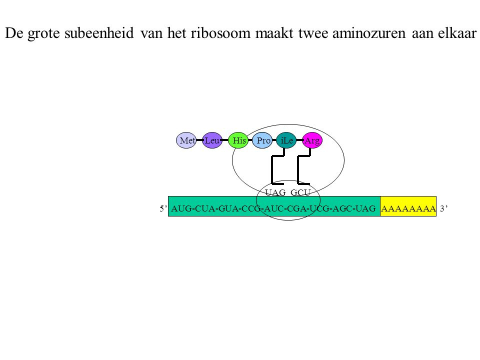 De grote subeenheid van het ribosoom maakt twee aminozuren aan elkaar