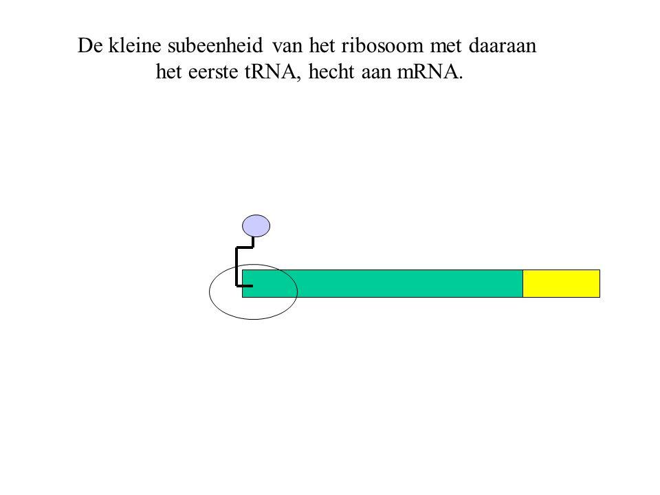 De kleine subeenheid van het ribosoom met daaraan