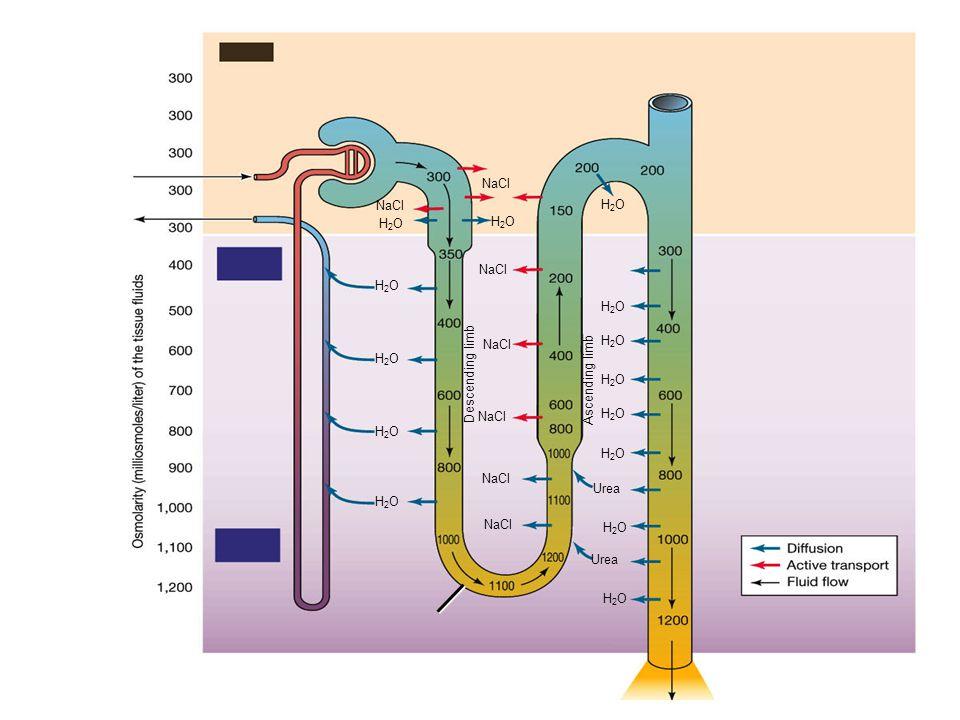 Descending limb Ascending limb Urea H2O NaCl