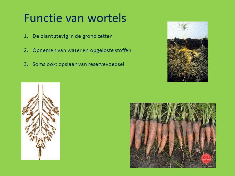 Functie van wortels De plant stevig in de grond zetten