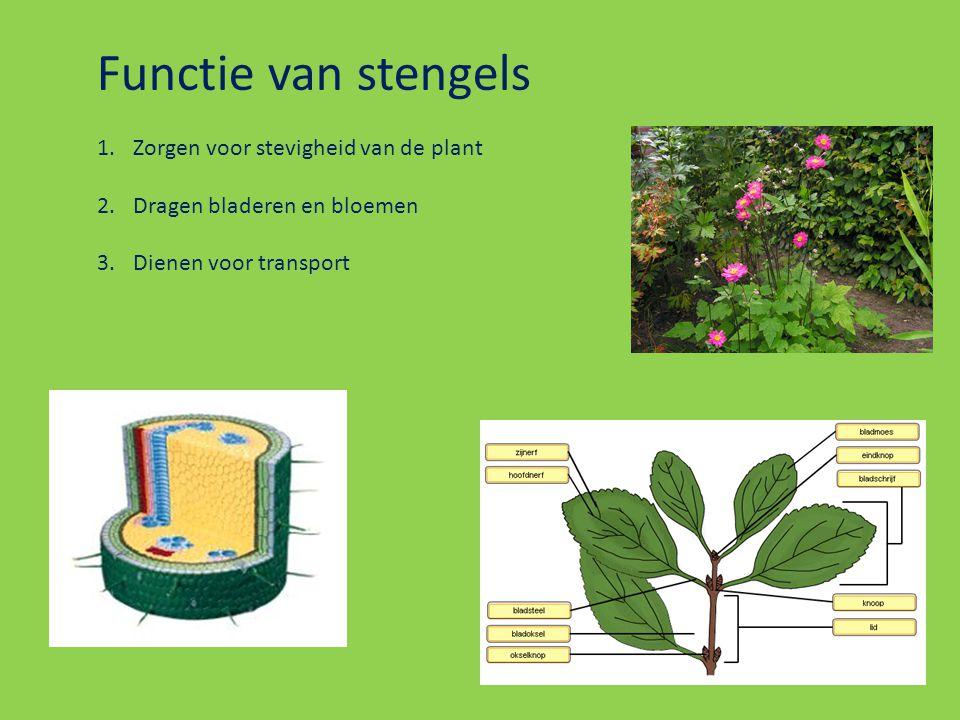 Functie van stengels Zorgen voor stevigheid van de plant