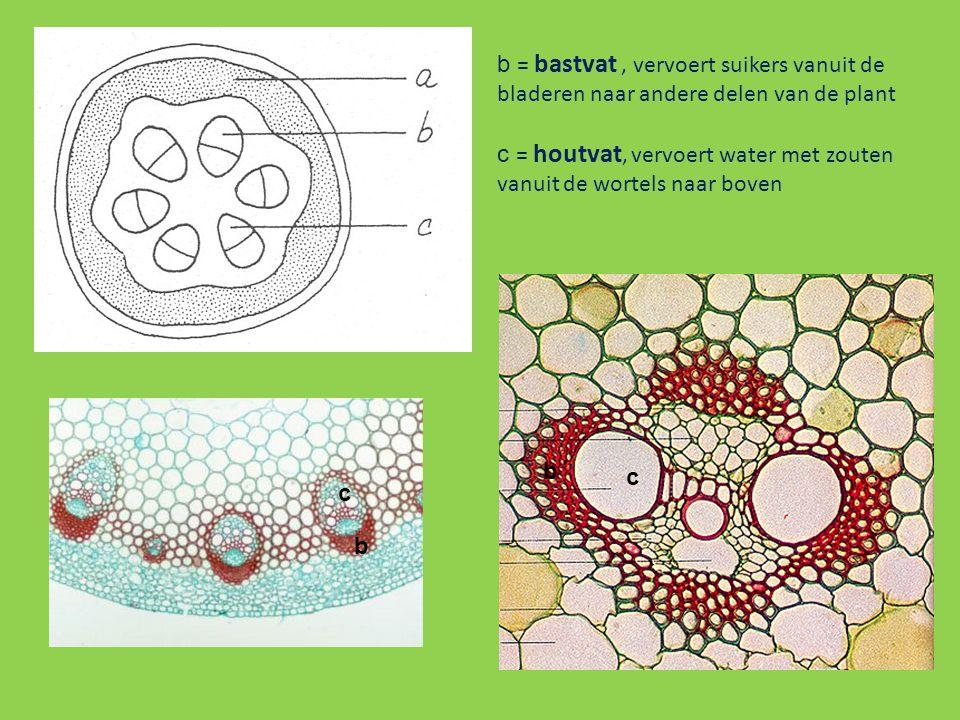 b = bastvat , vervoert suikers vanuit de bladeren naar andere delen van de plant