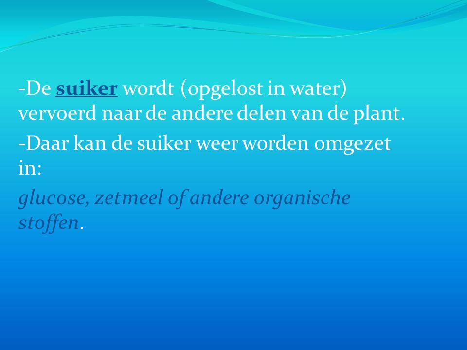 -De suiker wordt (opgelost in water) vervoerd naar de andere delen van de plant.