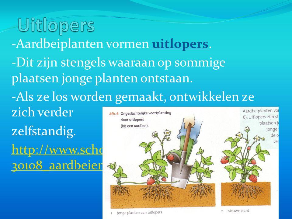 Uitlopers -Aardbeiplanten vormen uitlopers.