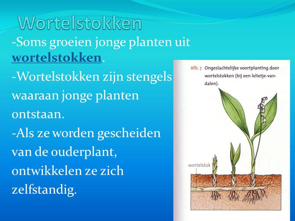 Wortelstokken -Soms groeien jonge planten uit wortelstokken.