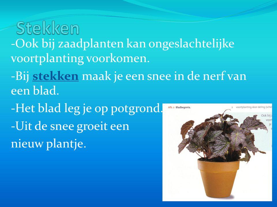 Stekken -Ook bij zaadplanten kan ongeslachtelijke voortplanting voorkomen. -Bij stekken maak je een snee in de nerf van een blad.