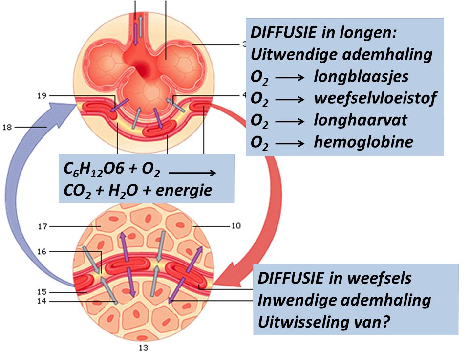 DIFFUSIE in longen: Uitwendige ademhaling