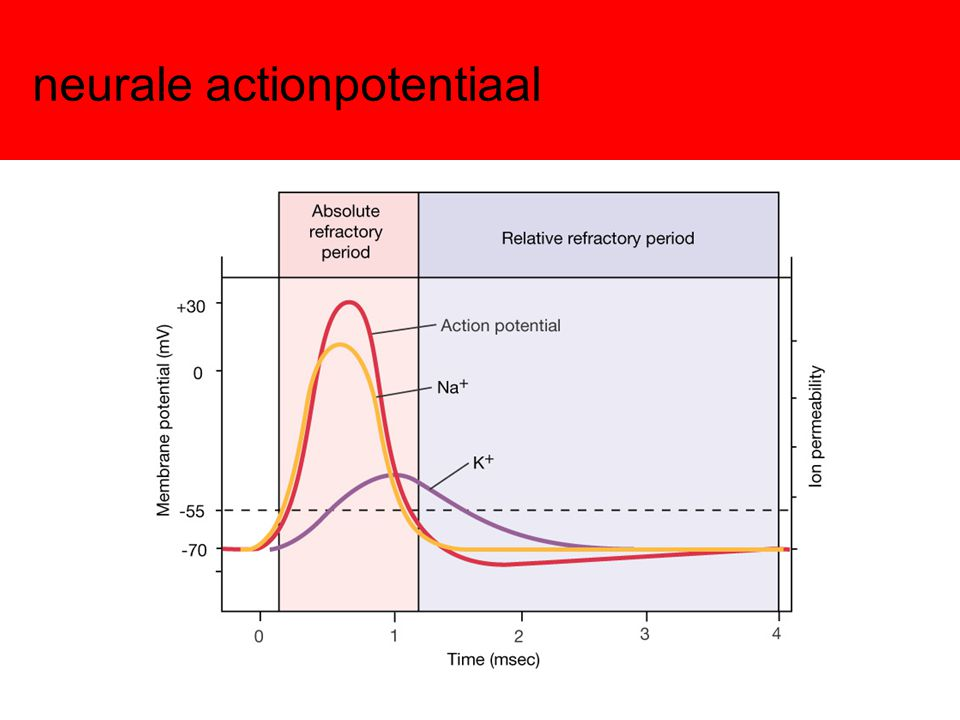 neurale actionpotentiaal