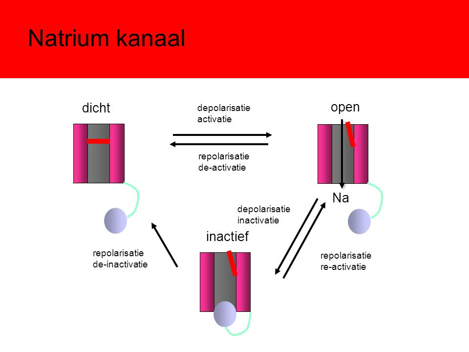 Natrium kanaal dicht open Na inactief depolarisatie activatie