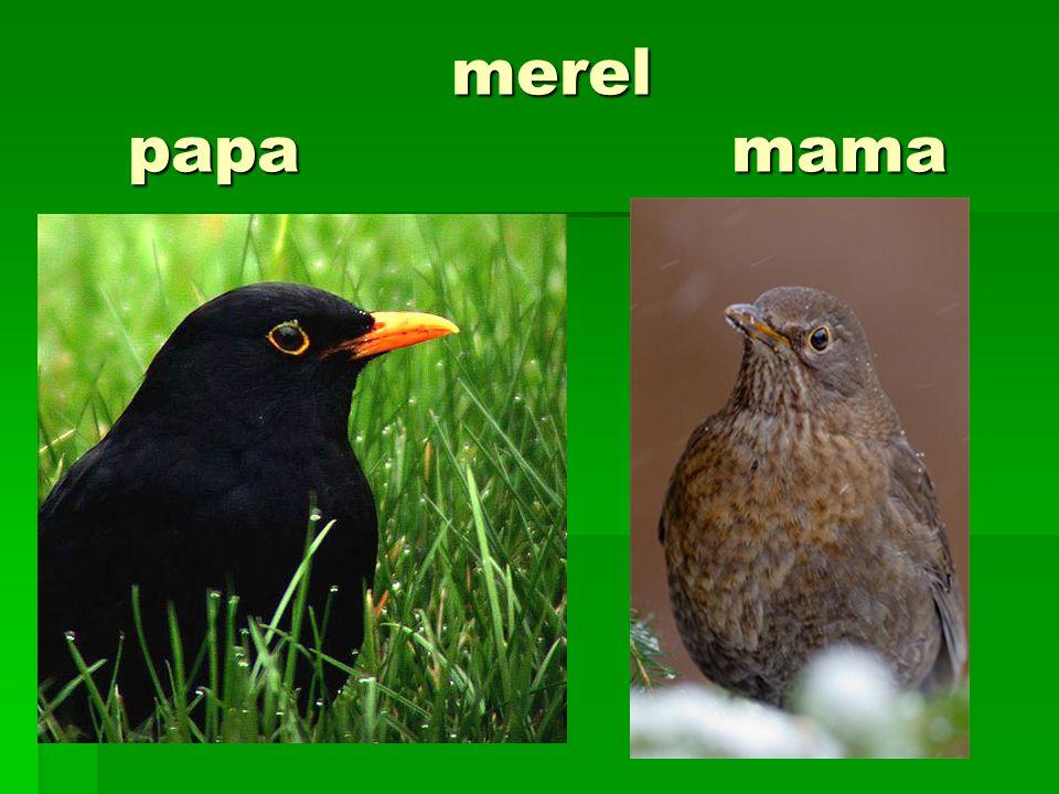 merel papa mama