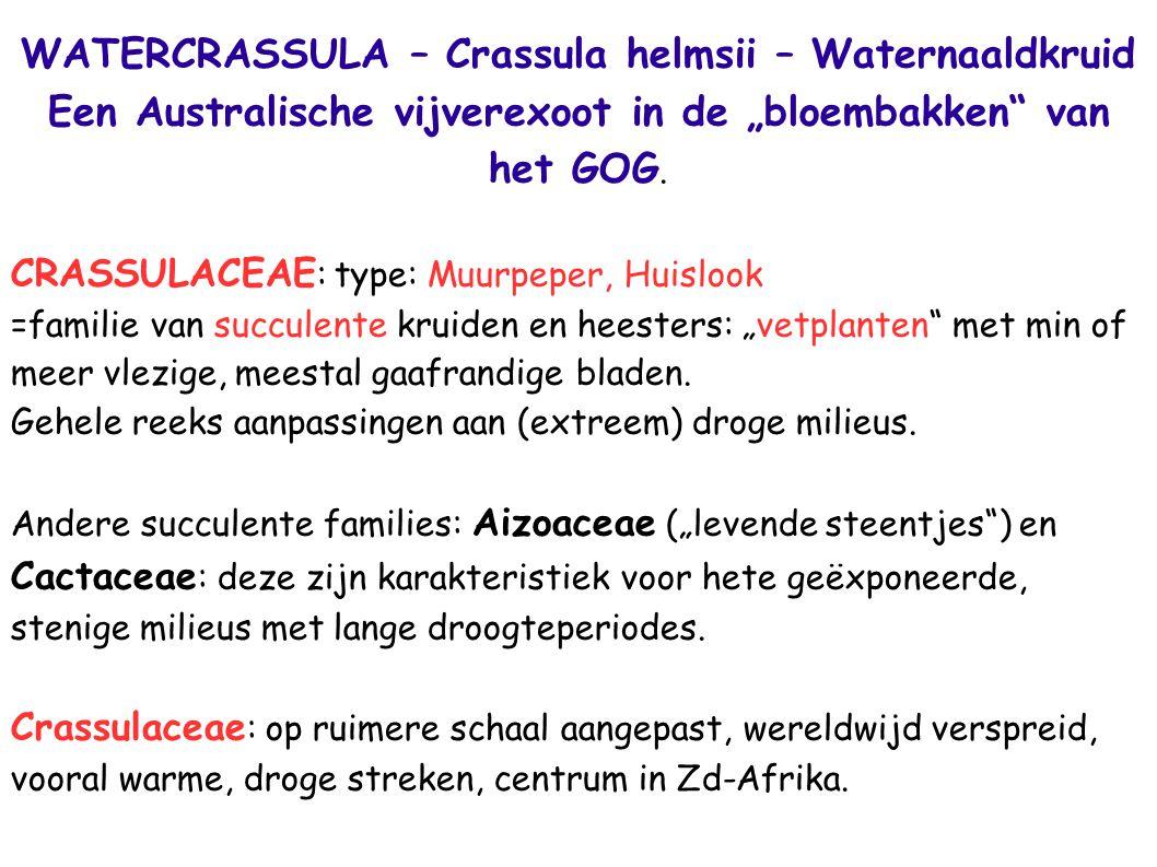 WATERCRASSULA – Crassula helmsii – Waternaaldkruid