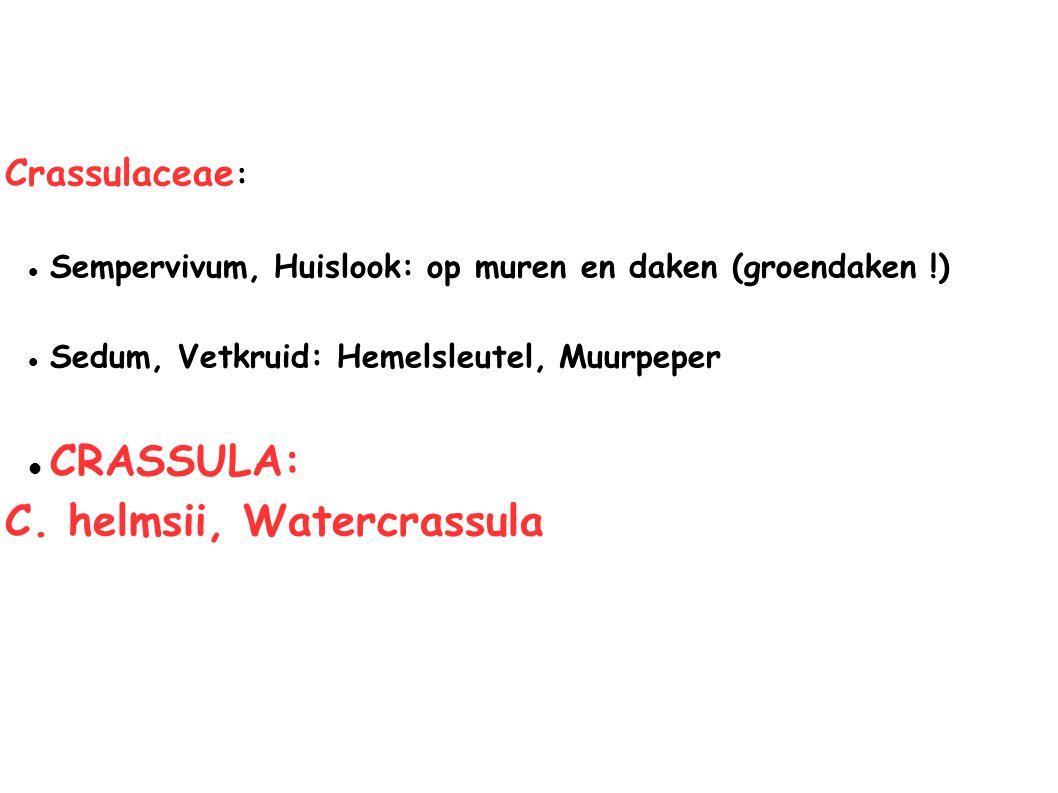 C. helmsii, Watercrassula