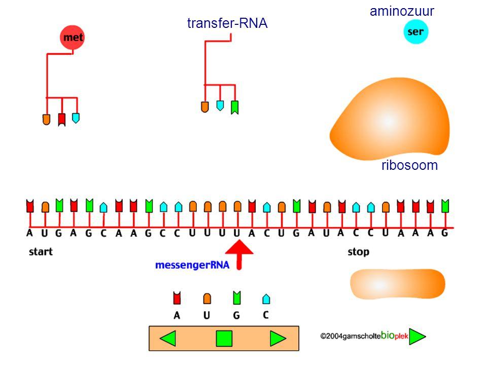 aminozuur transfer-RNA ribosoom