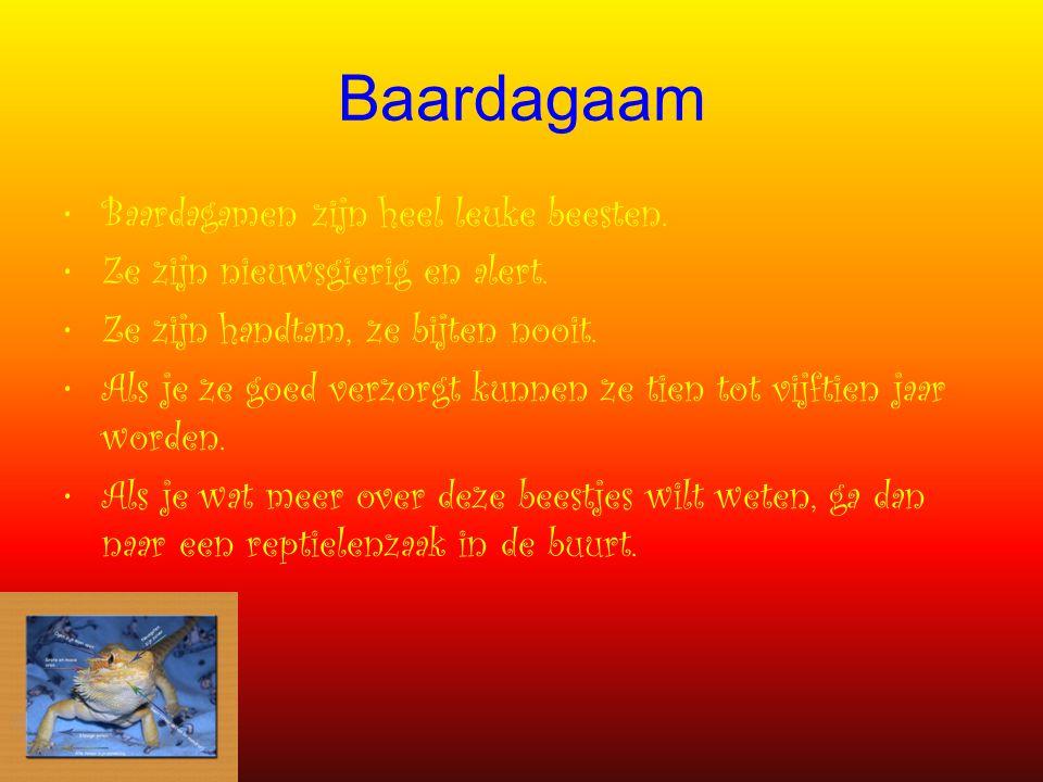Baardagaam Baardagamen zijn heel leuke beesten.