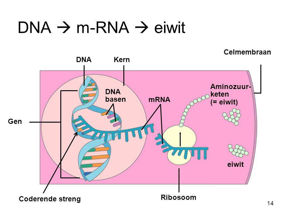 DNA  m-RNA  eiwit Celmembraan DNA Kern Aminozuur-keten (= eiwit)
