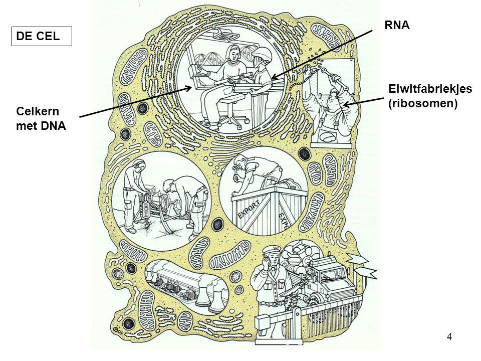 RNA DE CEL Eiwitfabriekjes (ribosomen) Celkern met DNA
