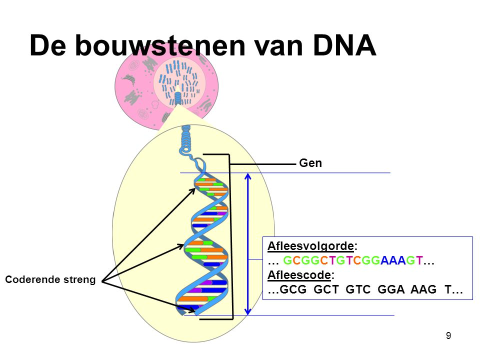 De bouwstenen van DNA Gen Afleesvolgorde: … GCGGCTGTCGGAAAGT…