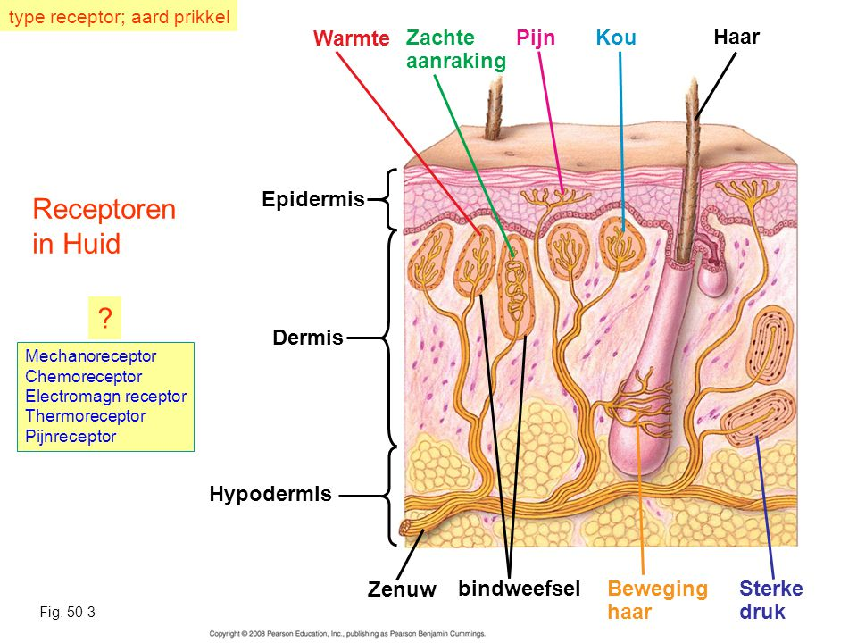 Receptoren in Huid bindweefsel Warmte Sterke druk Beweging haar