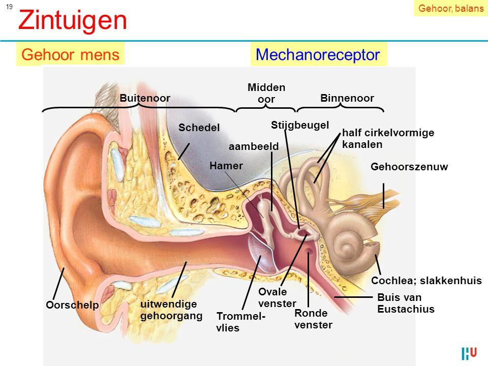 Zintuigen Gehoor mens Mechanoreceptor Midden oor Buitenoor Binnenoor