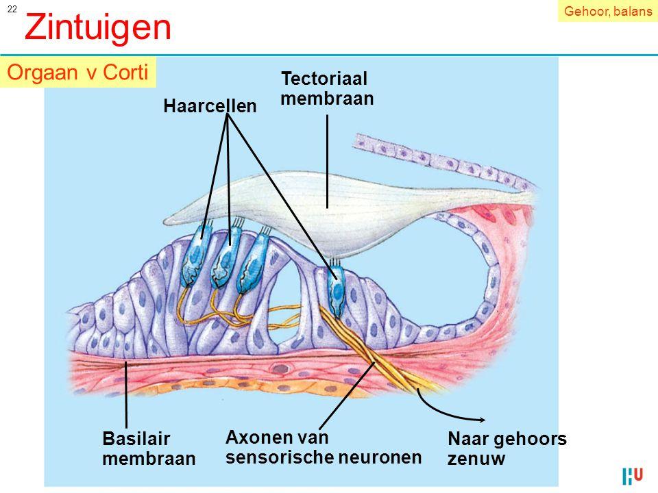 Zintuigen Orgaan v Corti Tectoriaal membraan Naar gehoors zenuw